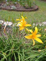 "Daylily, ""Gold Spider"" in Warner Robins, Georgia"